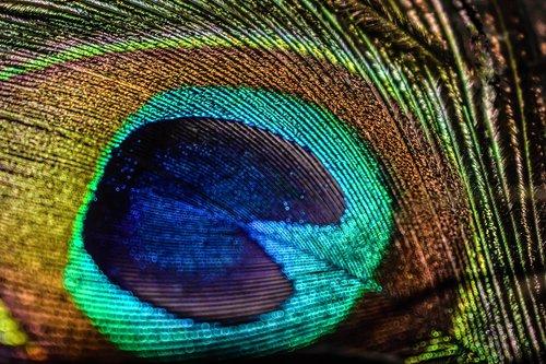 Povas, paukštis, plunksnų, fazanas, gyvūnas, tekstūros, modelis, abstraktus