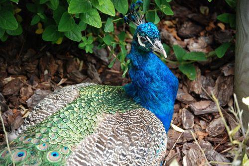 Povas uodegos plunksnos,paukštis,elegancija,plunksnos,spalvinga,zoologijos sodas
