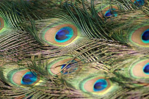 Povas plunksnos,Povas plunksnos,plunksnos,paukštis,uodegos plunksnos,elegancija,povo plunksna,gražus,Iš arti,mėlynas,žalias