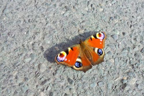 aglais & nbsp, io, gyvūnas, Iš arti, spalvinga, europos & nbsp, povas, inachis, vabzdys, oranžinė, Povas & nbsp, drugelis, kelias, laukinė gamta, sparnai, Povų drugelis