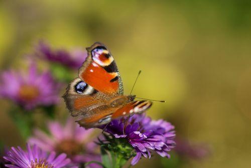 Povų drugelis,drugelis,vabzdys,Povas gyvūnas,Uždaryti,vasara,sparnas,sodas,spalvinga,makro,aglais io,edelfalter,drugeliai,purpurinė gėlė,herbstasternas,kompozitai,skleisti,eyepots