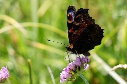 Povų drugelis,aglais io,inachis io,nymphalis io,drugelis,drugeliai,gėlė