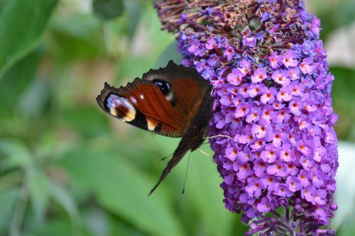Povų drugelis,drugelis,inachis io,geriamasis nektaras,europietis,buddleija,buddleja,violetinė,gėlė,drugelis krūmas,sparnai,atviras,ratai ant sparnų,Iš arti