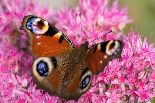 Povų drugelis,aglais io,inachis io,nymphalis io,stonecrop