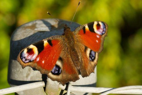Povų drugelis,aglais io,inachis io,nymphalis io,tvora
