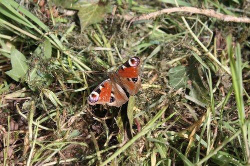 Spungė, drugelis, Povas, pavasaris, Iš arti, edelfalter