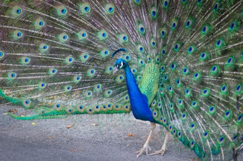 gyvūnas, paukštis, mėlynas, spalva, dizainas, plunksnos, žalias, Indijos & nbsp, povas, Povas peafowl, plumėjimas, verda, uodega, uodega & nbsp, plunksnos, traukinys, zoologijos sodas, Povas plakančios plunksnos