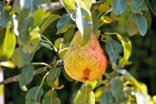 kriaušė,kriaušė,gamta,vaisiai,desertas,skanus,sveikas,šventasis vaisius,medis,lapai