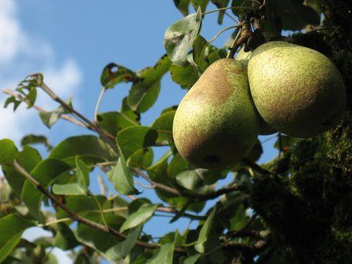 kriaušė,kriaušė,vaisiai,vaisių sodas