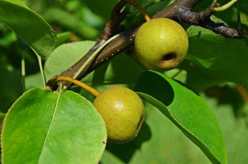 kriaušė, Azijos kriaušė, medis, liūdnas, sodas, Iš arti, gamta, lapija, augmenija, vaisiai, konary, lapai, vitaminai, Žemdirbystė, sodininkystė