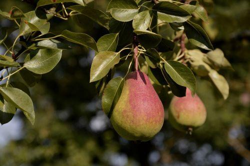 kriaušės, kriaušė, medis, kriaušė & nbsp, medis, ruduo, vaisiai, kriaušė ant medžio