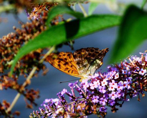 perlų melis,drugelis,vabzdys