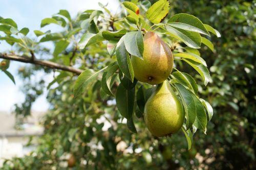 kriaušės,vaisiai,kriaušė,kriaušė,gamta,vasara,vasaros pabaigoje,lapai,medis