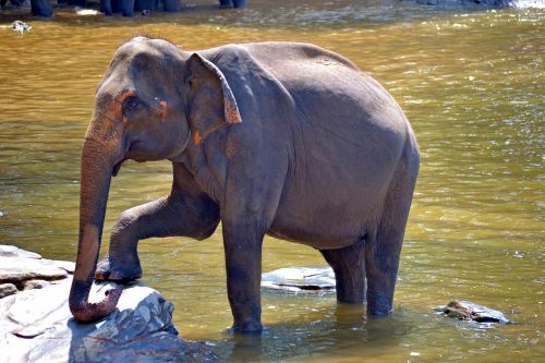 nėščia dramblys,dramblys,mama dramblys,moterų dramblys,Indijos dramblys,jumbo,dramblio vonia,pinnawala,Šri Lanka,ceilonas