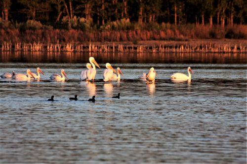 gamta, laukinė gamta, gyvūnai, paukščiai, pelikanai, baltieji & nbsp, paukščiai, nardymas & nbsp, paukščiai, žvejoti & nbsp, paukščius, kačiukas, amerikietiškas & nbsp, katinas, maudytis, poilsio, stovintis, seklus & nbsp, vanduo, ežeras, vanduo, mėlynas & nbsp, vanduo, kritimas, ruduo, vėlai & nbsp, popietę, dusk, vakaras, pelikanai ir rudenį