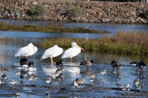 pelikanai, paukščiai, žemas & nbsp, potvynis, mėlynas & nbsp, vanduo, baltieji & nbsp, paukščiai, kranto paukščiai, okeanas & nbsp, paplūdimys, anksti & nbsp, rytą, rytas & nbsp, šviesa, išsaugoti, šlapynes, pelikanai ir sanderlings