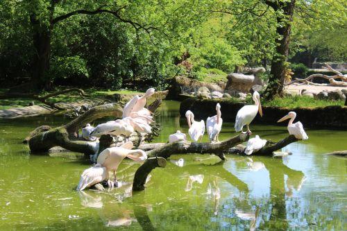 pelikan,zoologijos sodas,hamburgas,Hagen becks,sąskaitą,galva,sėdi,gamta,gyvūnas,paukštis,vandens paukštis,zoologijos sodas gyvūnas