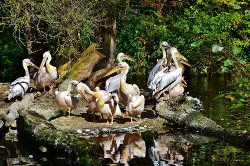pelikan,paukštis,laukinis paukštis,vanduo,vandens paukštis,gamta,tvenkinys,laukinis gyvūnas,padaras,gyvūnų pasaulis,gyvūnas,plumėjimas,plaukti,zoologijos sodas,gaubtas,laukinės gamtos fotografija,ruduo,laukinio gyvenimo parkas,Uždaryti,sąskaitą,plunksna,naminiai paukščiai,saulėtas,Spalio mėn