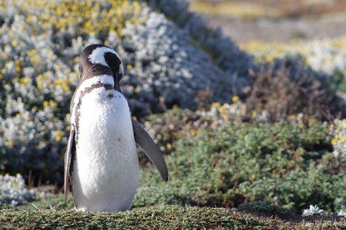 pingvinas,į pietus,patagonia,antarctic penguin,magelanas,turizmas,gamta,Chilean patagonia,pingvino lizdas