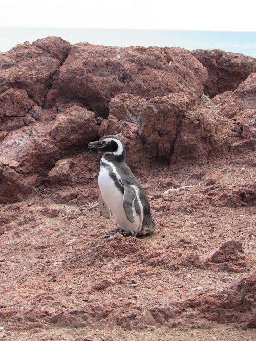 pingvinas,magelanas,gamta,patagonia,į pietus,pingvinas patagonikas,akmenys,argentina,turizmas,pietų argentina,ave,argentina patagonia,kraštovaizdis,natūralus