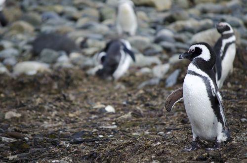 pingvinas,gyvūnas,gyvūnai,antarctica,patagonia