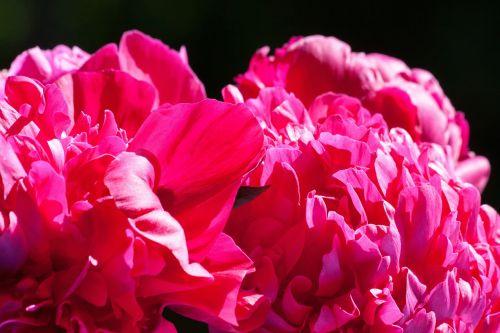 pentecost,pikonija,gėlė,gamta,flora,pavasaris,žiedas,žydėti,dekoratyvinis augalas,raudona,dviguba gėlė,sodrus