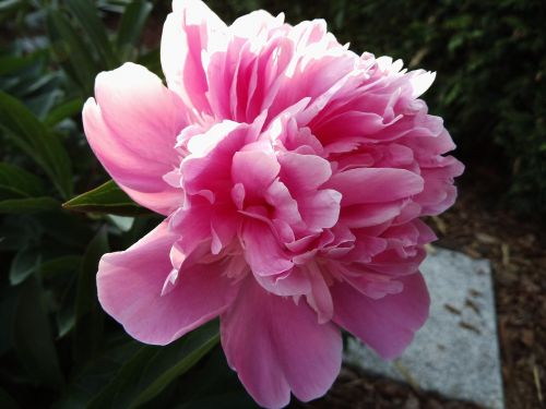 pikonija,rožinis,žiedas,žydėti,gėlė,pentecost rosengewächs,paeonia,dviguba gėlė,rožinė gėlė,sodas,pavasaris