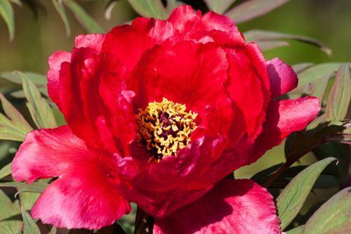 pikonija,gėlė,gamta,flora,pavasaris,žiedas,žydėti,dekoratyvinis augalas,raudona,žalias,dviguba gėlė,sodrus