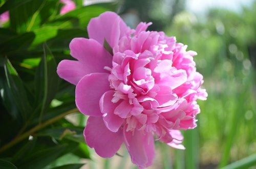 bijūnas, bijūnų, rožinis, gėlės, Sodas, žydi, gėlė, vasaros, floros, žydi, žydi, vasara, saulė, žiedlapiai, piestelė, laimė