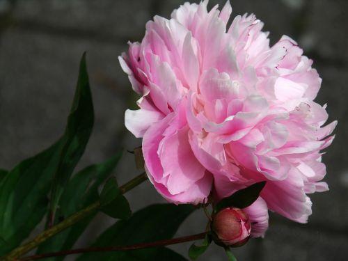 pikonija,gėlė,flora,žiedas,žydėti,augalas,sodas,gamta,pavasaris,dviguba gėlė,sodrus,rožinis