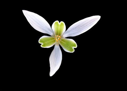 perce-neige,gėlė,širdis,žiedlapis,korola