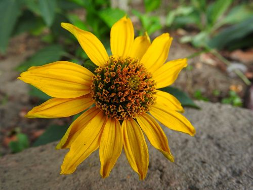 daugiamečiai saulėgrąžai,geltona gėlė,gėlė,žiedas,žydėti,Uždaryti