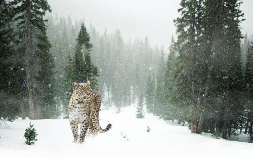 persų leopardas,leopardas,sniegas,žiema,pilnas ilgis portretas,miškas,portretas,Uždaryti,vaizdas,veidas,wallpapem,elegantiškas,išraiška,dėmesio,mieze,gyvūnų pasaulis,katė,sniego leopardas