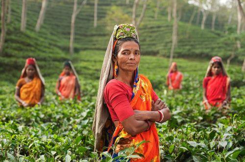 asmuo,moteris,Indija,laukai,Plantage,arbata,augalai,derlius,tradicinis,drabužiai,spalvinga,raudona,sulankstytas,rankos,žiūri,oriai,žemės ūkio paskirties žemė,darbo
