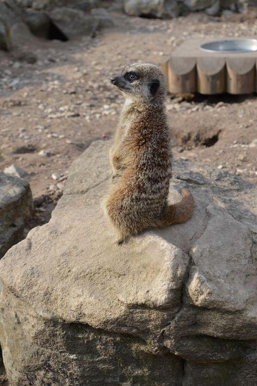 naminis gyvūnėlis,surykatka,zoologijos sodas,zoologijos sodas