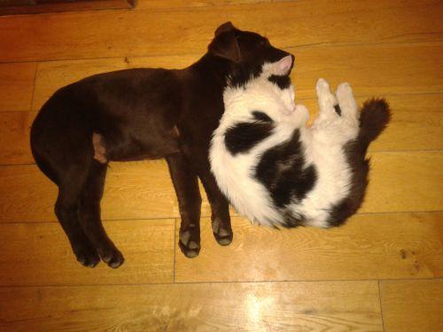 šuo, naminis gyvūnėlis, draugai, katė, atsipalaiduoti, kartu, augintiniai, naminiai draugai