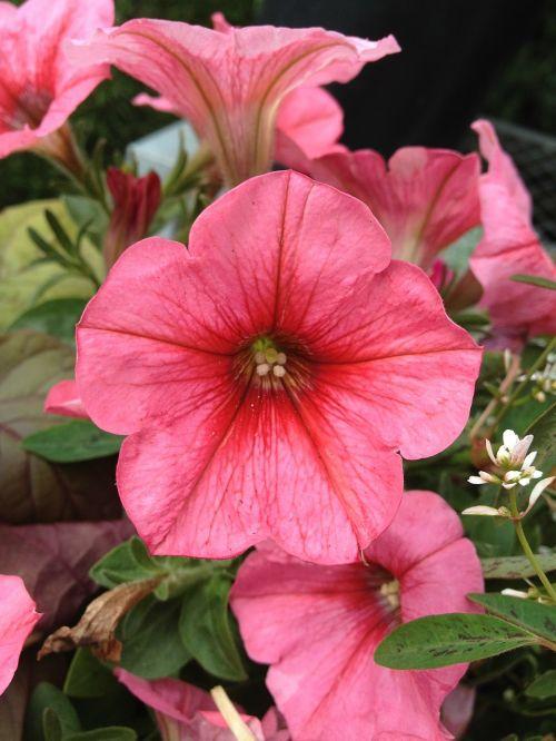 petunija,gėlės,gėlių,žiedas,žiedlapis,šviesus,žydėti,flora,botanika,botanikos,gyvas,budas,stiebas,šviežias,auga,gėlininkystė,aplinka,lapija,augimas,išsaugojimas,ekologiškas,sodrus,Žemdirbystė,sodinukai,žemė,derlingas,trapi,aromatingas,vaisingumas,nektaras,subtilus,elegantiškas,kvapas,žiedadulkės,išplistų,aromatas,švelnus,švelnus,kvepalai,Grynumas,sezoninis