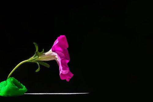 petunijos, dekoratyvinis augalas, gėlė, žiedas, žydi, nachtschattengewächs, gėlės, rožinis, vasaros gėlės, konteineris augalų, Sodas, floros, lapai, žaisti tešlą, makro, Iš arti, juodos spalvos, šviesa