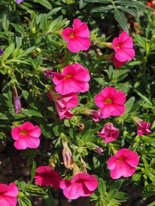petunija,gėlė,žiedas,žydėti,rožinis,gėlės,nachtschattengewächs,Solanaceae,sodo petunija,hibridas,dekoratyvinis augalas,Balkonų gamykla,konteinerių gamykla