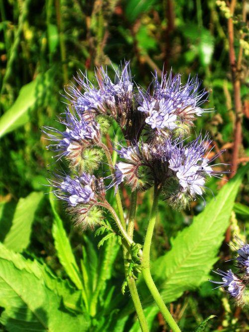 phacelia,žiedas,žydėti,Tansy-Phazelie,laukinė gėlė,vasara,metų laikas,bičių draugas,lauko gėlė,gėlė,purpurinė gėlė,violetinė,violetinė,kuoduotoji gėlė,bitininkų gamykla,vanduo lapų žalia,žiedynai,gamta,botanika,botanikos,augalas