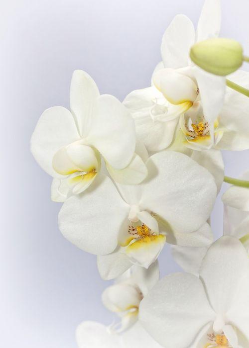 Phalaenopsis,orchidėja,weis,gėlė,atogrąžų,drugelis orchidėja,augalas,žiedas,žydėti,žydėti,Phalaenopsis orchidėja,flora,falanopiso orchidėja