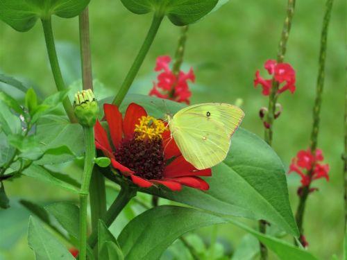 pheobus philea,geltona drugelis,drugelis ant gėlių,drugelis