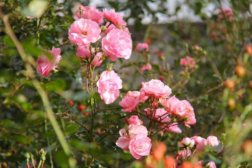 phoenix parkas,parkas,gražus,rožinis,gėlė,flora,gamta,sodas,medis,žalias,augalas,dublin,Airija,Europa