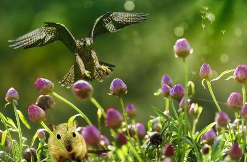 foto montavimas,komponavimas,gamta,falcon,pelė,medžioja,skaitmeninių nuotraukų montavimas,augalas,gyvūnas,gėlė,fantazija