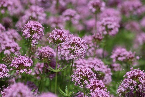 phuopsis, phuopsis stylosa, gėlės, žydi, vasaros gėlės, ryskios spalvos, vasara, gėlės srityje, pobūdį, gražios gėlės, sodo gėlės, daug spalvų, Gėlių kilimas, laukas, violetinės gėlės, parke, floros, caucasian crosswort, didelio stiliaus crosswort, ne žmogus
