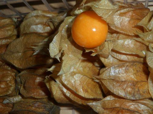 fizalis,vaisiai,uogos,vaisiai,perikarpas,sepals,oranžinė