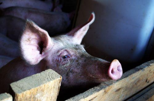 kiaulė,stalas,gyvuliai,gyvūnas,purvinas,rožinis,paršelis,kiaulių veisimas,veisimas,sėti,proboscis,ūkis,snukis,Žemdirbystė,Grunt,kvapas,tvora,tinklelis,naminė kiaulė