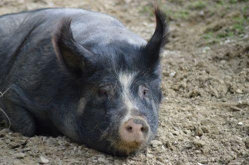kiaulė,gyvūnai,sėti,gyvūnas