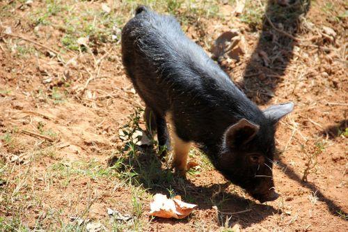 kiaulė,juoda,gyvuliai,ūkis