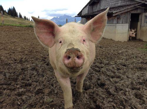 kiaulė,Žemdirbystė,gamta,laiminga kiaulė,naminė kiaulė,ūkis,sėti,gyvūnai,rožinis,kiaulių veisimas,laiminga kiaulė